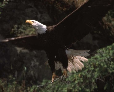 Watch bald eagles feeding during the Lake Escape Safari