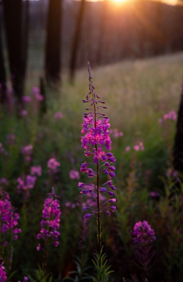 Beautiful pink Fireweed wildflowers at Siwash Lake