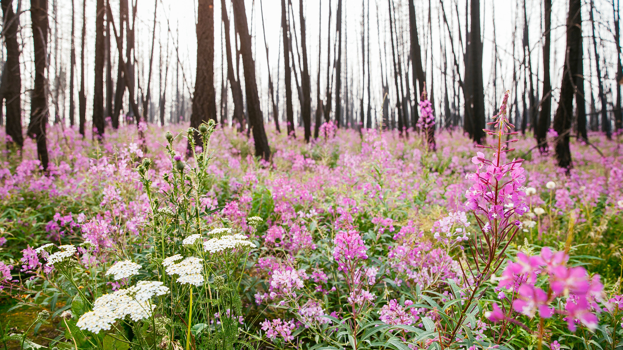 A sea of pink Fireweed wildflowers at Siwash Lake's Wildland Private Nature Reserve