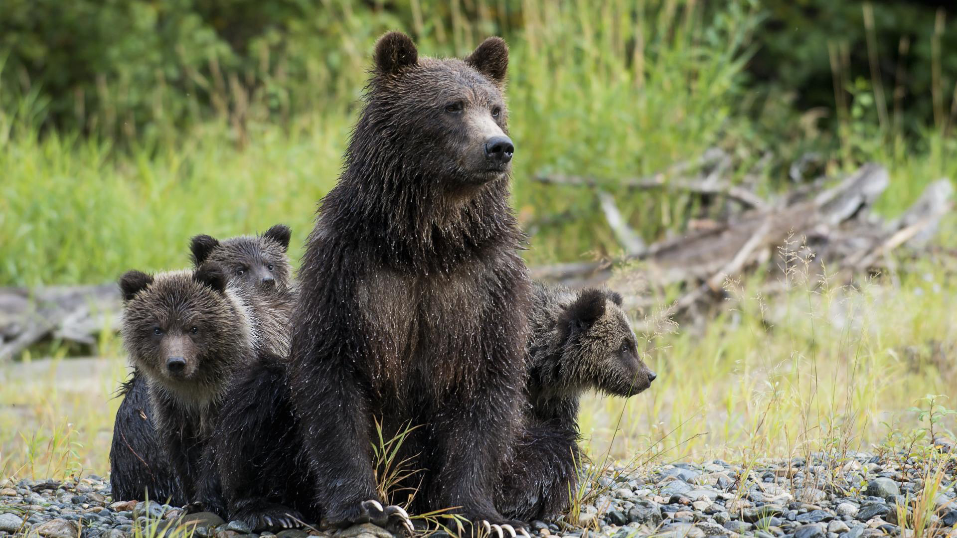 Grizzly Bear Family at Tweedsmuir Park Lodge